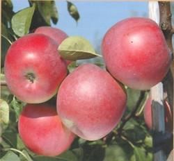 Яблуня Ентерпрайз