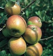 Яблоня Лиголь