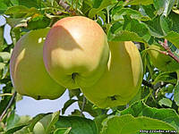 Яблоня Пепинка золотистая