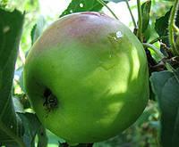 Дерево-сад Яблоня 3 сорта, 2-х летняя (Мутсу+Флорина+Семеренко), фото 1