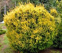 Тис ягодный Elegantissima \ Taxus baccata Elegantissima(контейнер Р9)