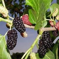 Шелковица чёрная Турчанка