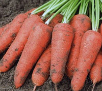 Абако F1 семена моркови Шантане (2,2-2,4), фото 1