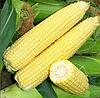 СИГНЕТ F1 - семена кукурузы, Seminis