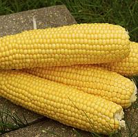 ТРОФИ F1  - семена кукурузы, Seminis