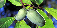 Азимина трёхлопосная \ Asimina triloba'Prolific'