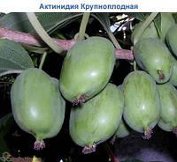 Актинидия Киевская крупноплодная (контейнер)