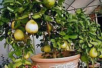 Лимон Пандероза 2х летний