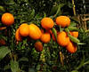 Кумкват  Золотой мандарин