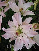 Лилия Spring Pink  махровая