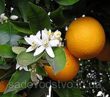 """Апельсин сорт """" Вашингтон Навел """""""