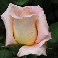 Роза Эмми Ч-Г