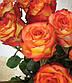 Роза Циркус Ч-Г, фото 2