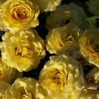 Роза бордюрная Сан-Сити