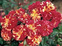 Роза бордюрная Бигуди
