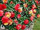 Роза бордюрная Бигуди, фото 3