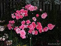 Роза флорибунда Берлебург
