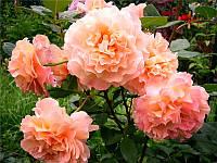 Роза Августа Луиза Ч-Г, фото 1