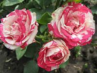 Роза Сатина (шраб)