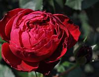 Роза английская Травиатта