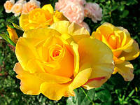 Роза Голден Медальен Ч-Г