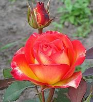 Роза Утопия Ч-Г
