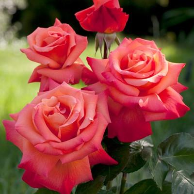 Роза Христофор Колумб Ч-Г