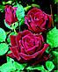 Роза Папа Мейян Ч-Г, фото 3