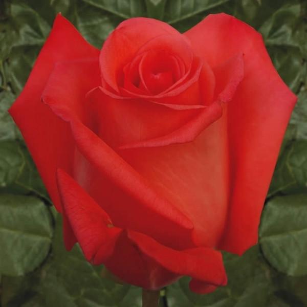 Роза Муві Стар Ч-Р