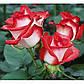Роза чайно-гибридная Латин Леди, фото 2