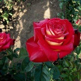 Роза чайно-гибридная Касандра