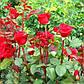 Роза чайно-гибридная Касандра, фото 2