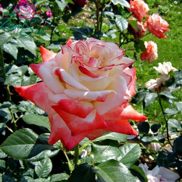Троянди чайно-гібридна Імператриця Фарах