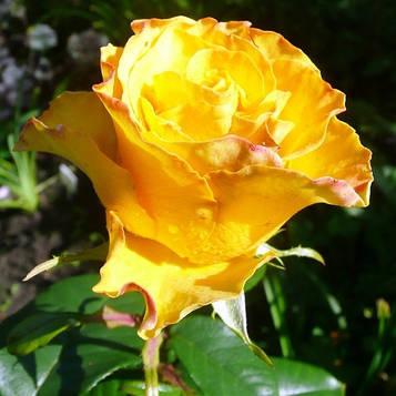 Роза чайно-гибридная Илиус