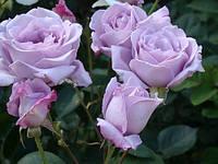Роза чайно-гибридная Голубой Нил, фото 1