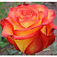Роза чайно-гибридная Верано, фото 3