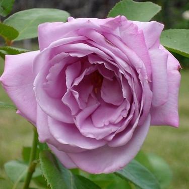 Роза чайно-гибридная Вальс-Тайм