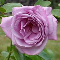 Роза чайно-гибридная Вальс-Тайм, фото 1