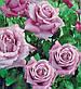 Роза чайно-гибридная Вальс-Тайм, фото 2