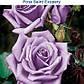 Роза чайно-гибридная Сент Экзюпери, фото 2