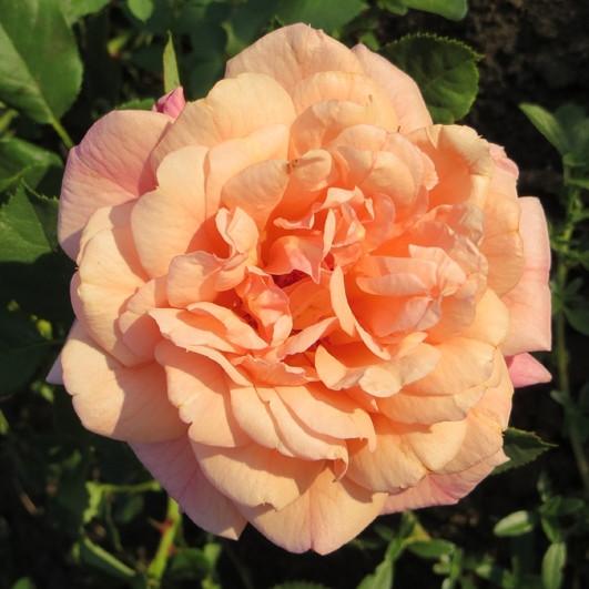Роза Алоха в'юнка