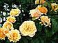 Роза флорибунда Эмбер Куин, фото 3