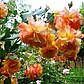 Роза Сахара (шраб), фото 2