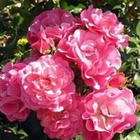 Роза парковая Блю Вундер