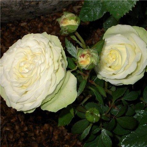 Троянда мініатюрна Хонора