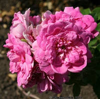Роза канадская Луис Джолиет
