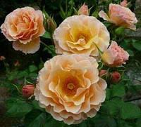 Роза бордюрная Ребекка Мэри