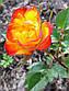 Роза бордюрна Колібрі, фото 2