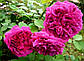 Роза английская Вильям Шекспир, фото 2