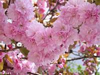 Сакура шаровидная Канзан